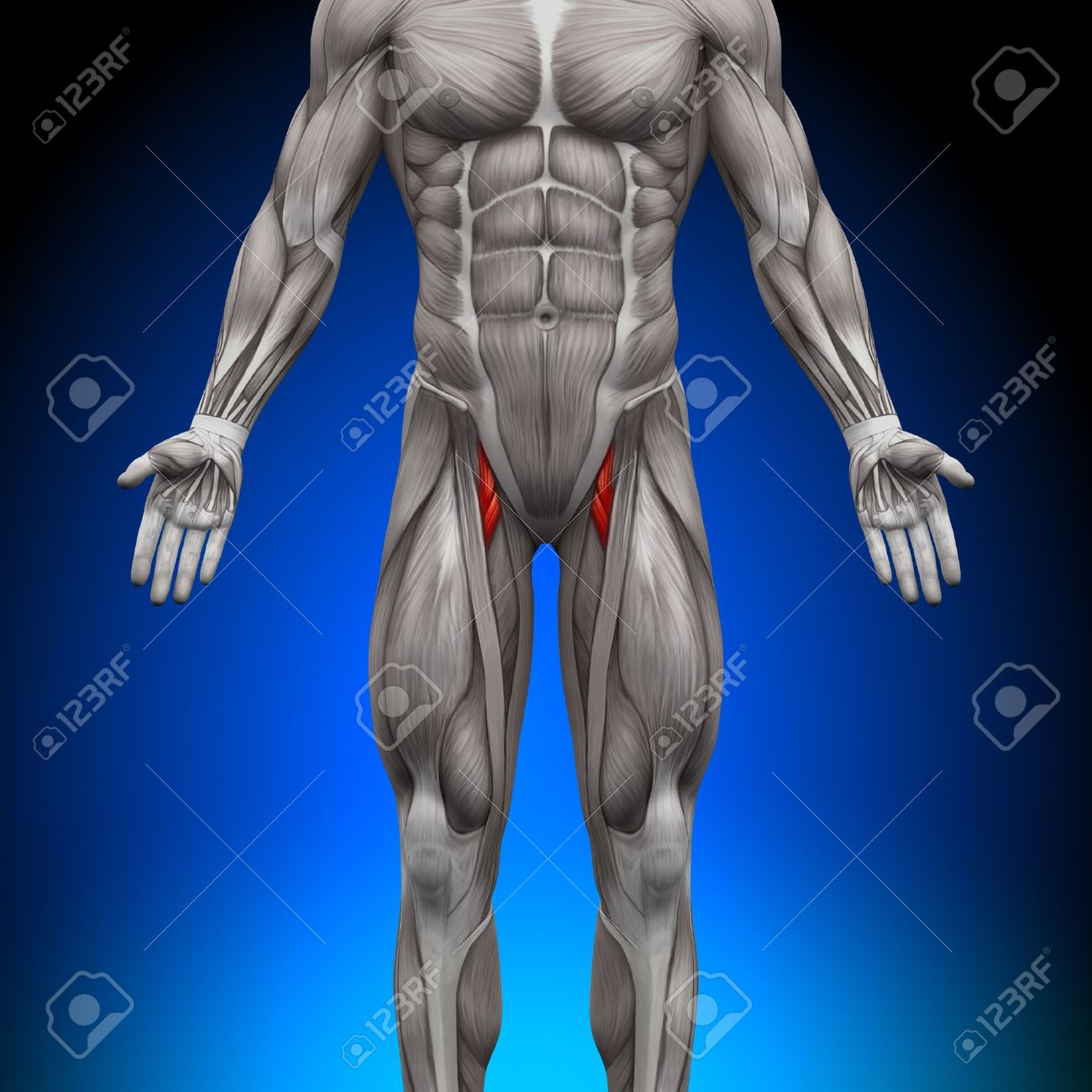 Thighs Anatomy Muscles Stock Photo, Picture And Royalty Free Image ...