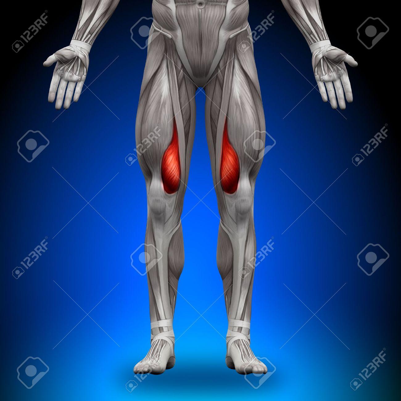 Vasto Interno Anatomía Músculos Fotos, Retratos, Imágenes Y ...