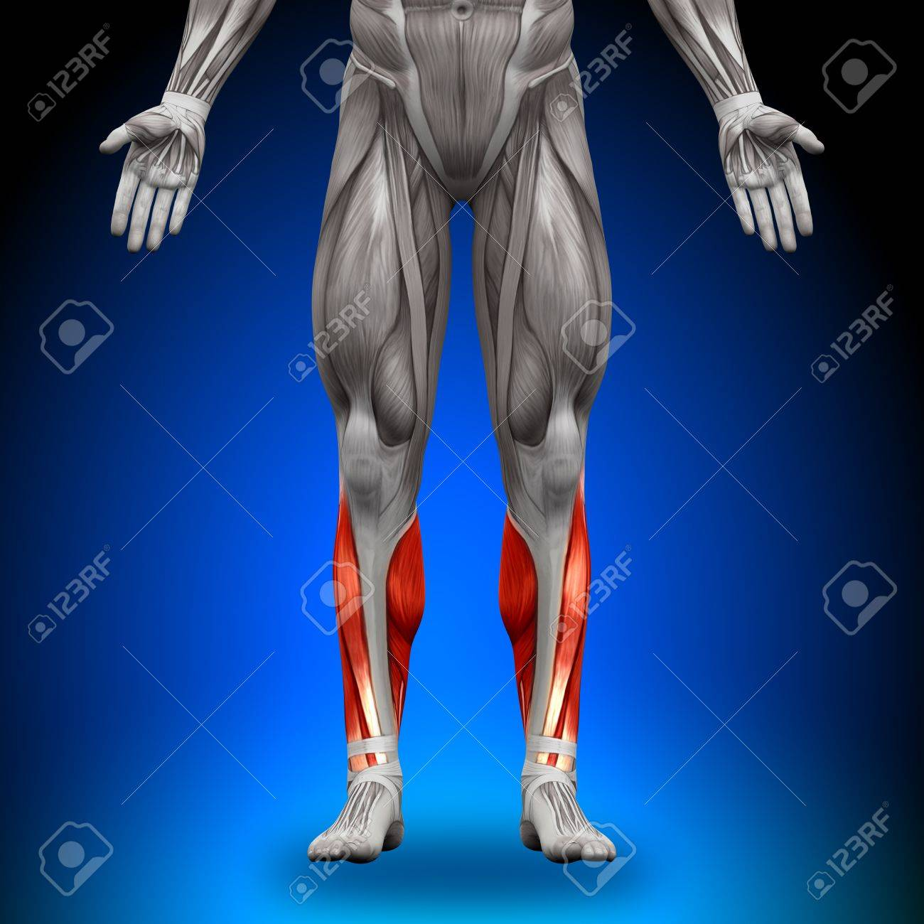 Calves Anatomy Muscles Stock Photo Picture And Royalty Free Image