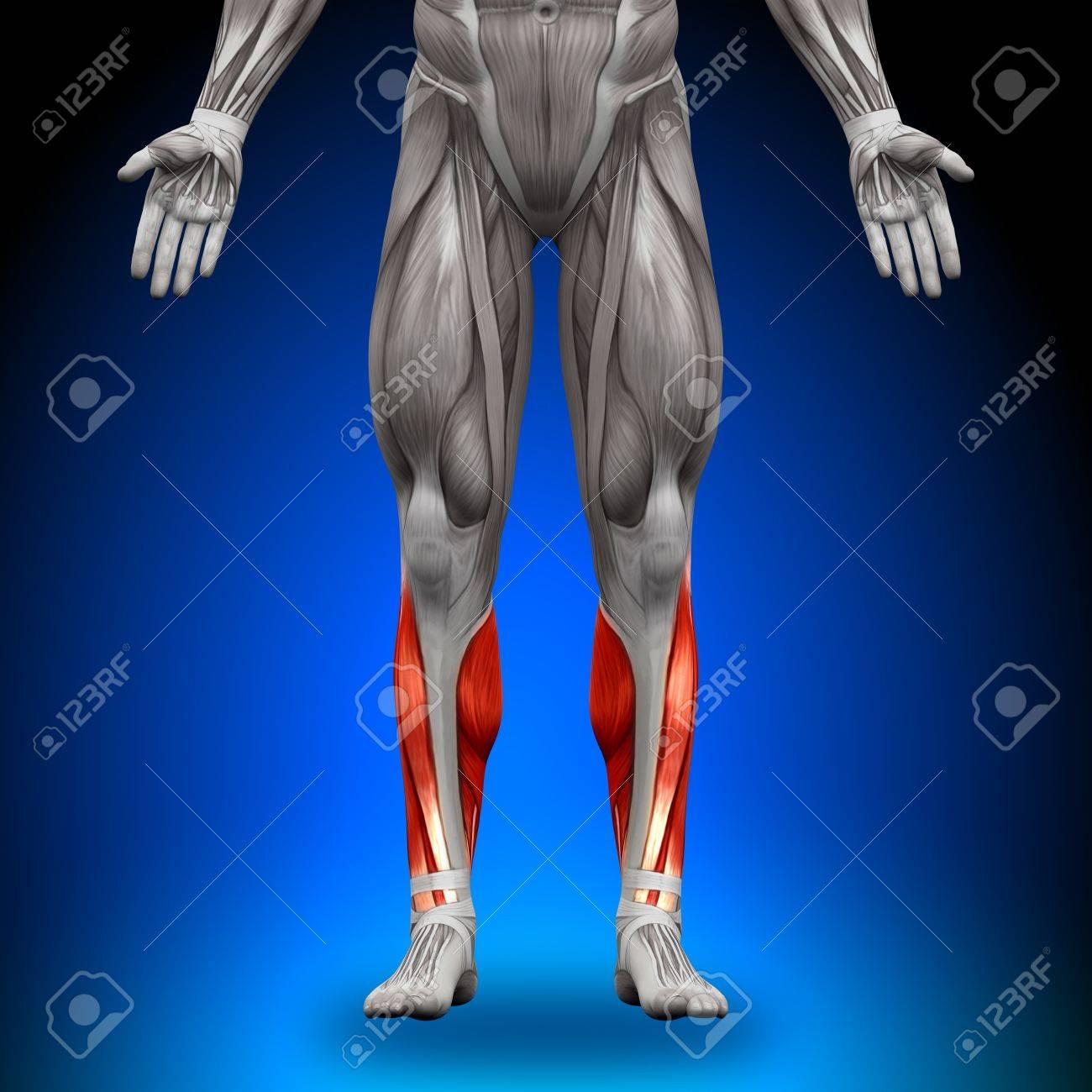 Terneros Anatomía Músculos Fotos, Retratos, Imágenes Y Fotografía De ...