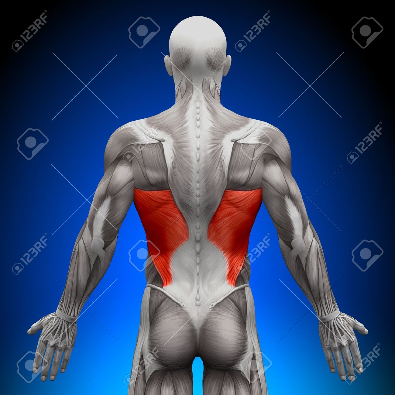 Latissimus Dorsi Anatomy Muscles Stock Photo, Picture And Royalty ...