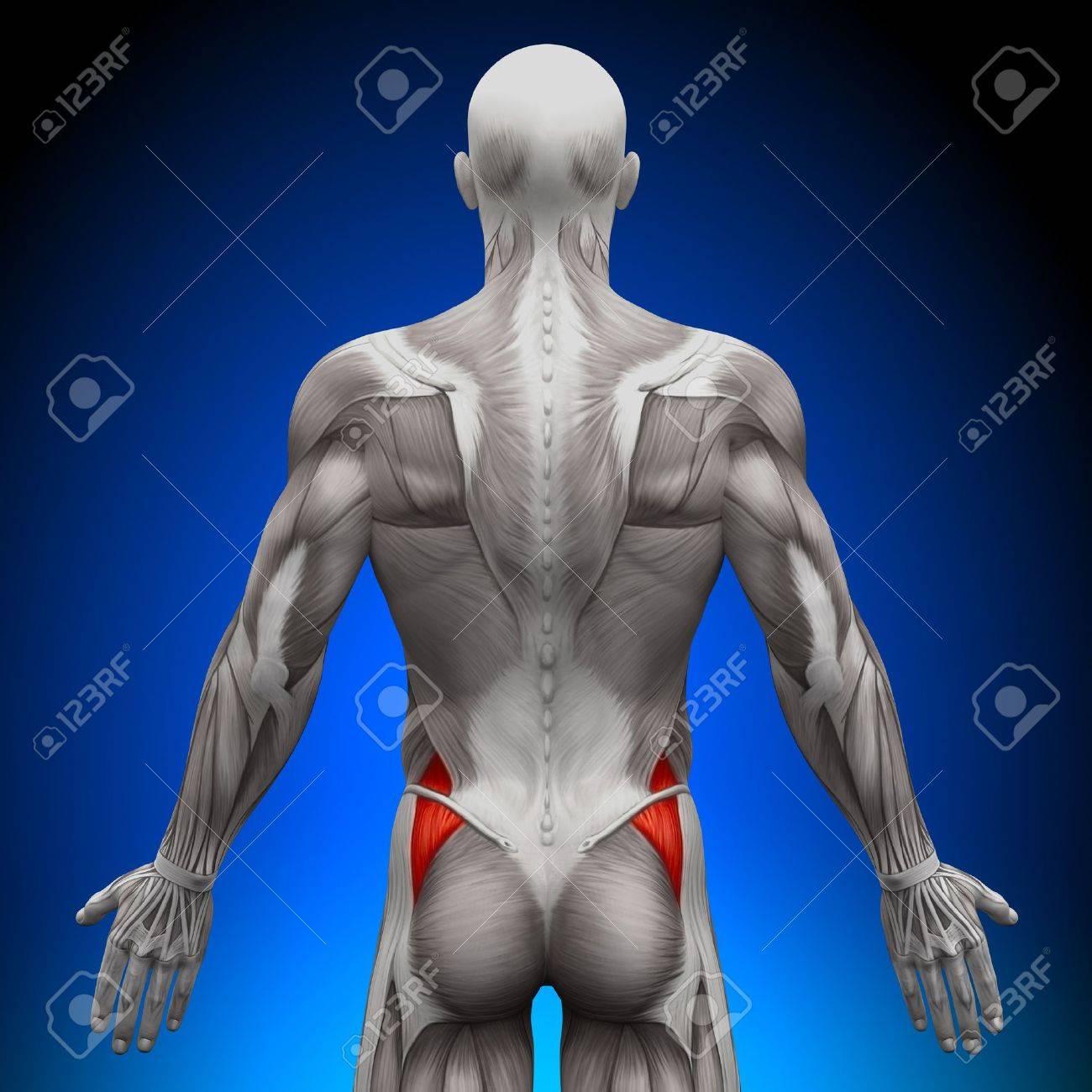Glúteos Músculos Anatomía Medius Fotos, Retratos, Imágenes Y ...