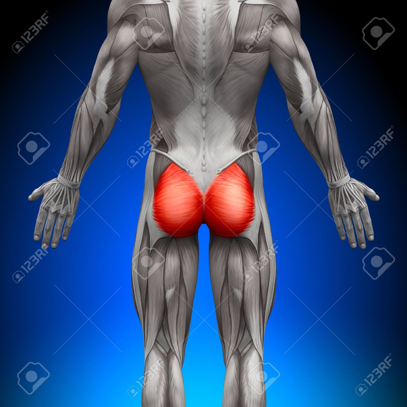 Glutes Gluteus Maximus Anatomy Muscles Stock Photo, Picture And ...