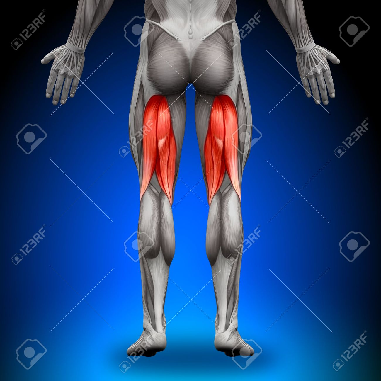 Hamstrings Anatomy Muscles Stock Photo, Picture And Royalty Free ...