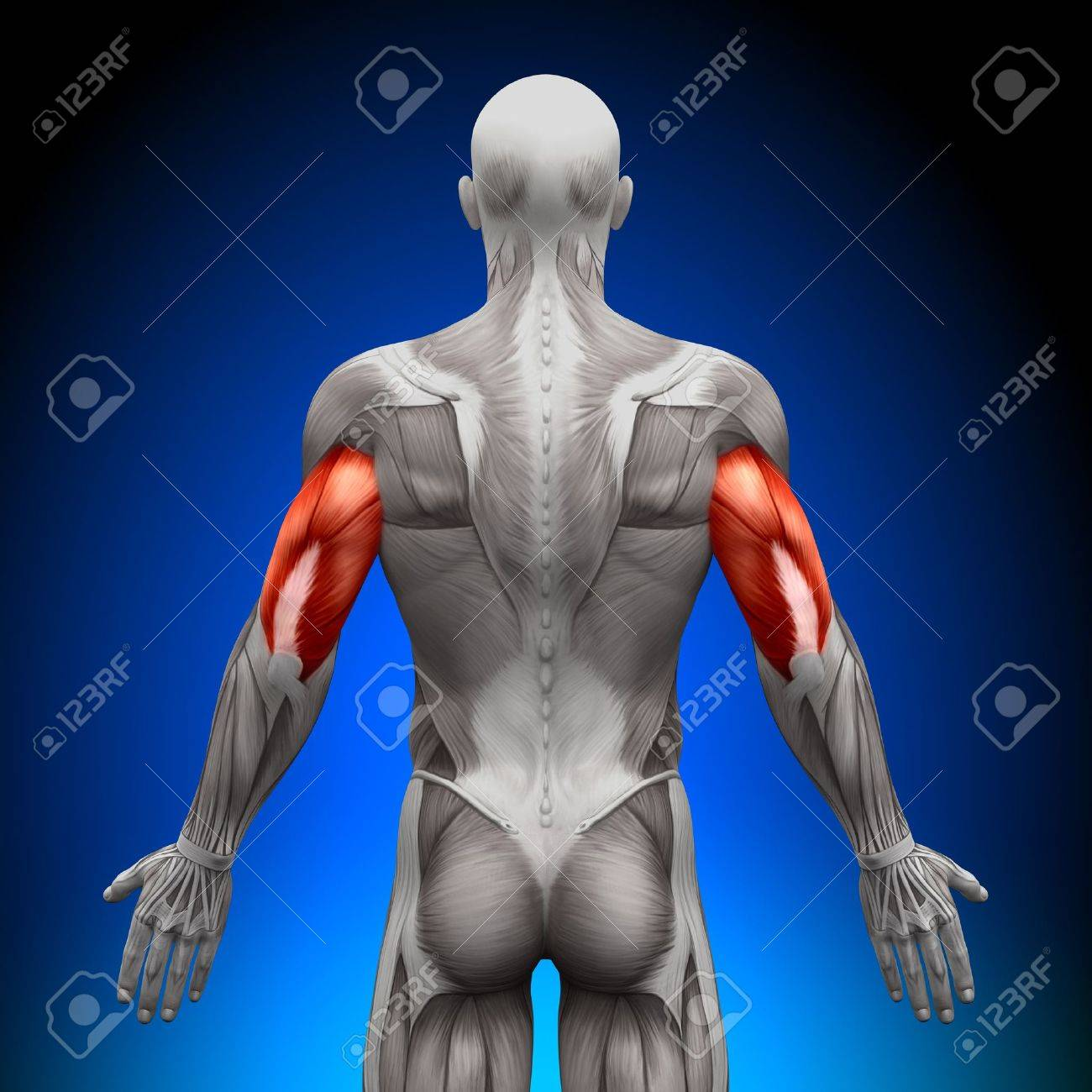 Triceps Anatomy Muscles Stock Photo, Picture And Royalty Free Image ...