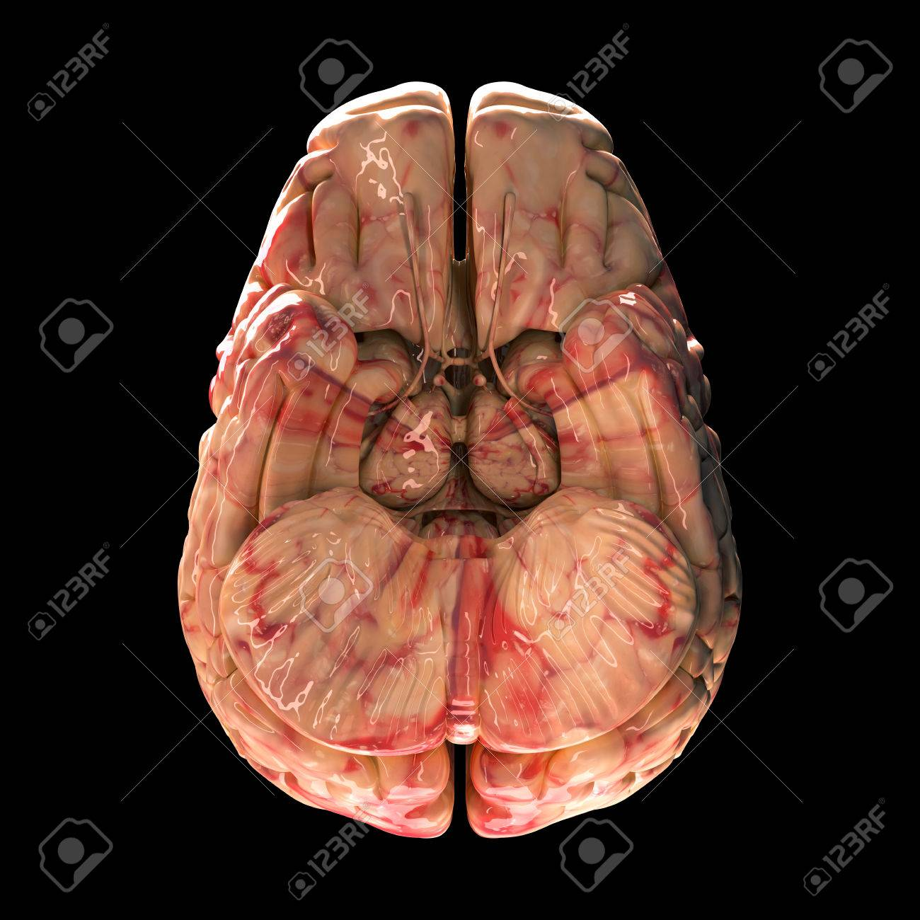 Anatomy Brain - Bottom View On Black Background Stock Photo, Picture ...