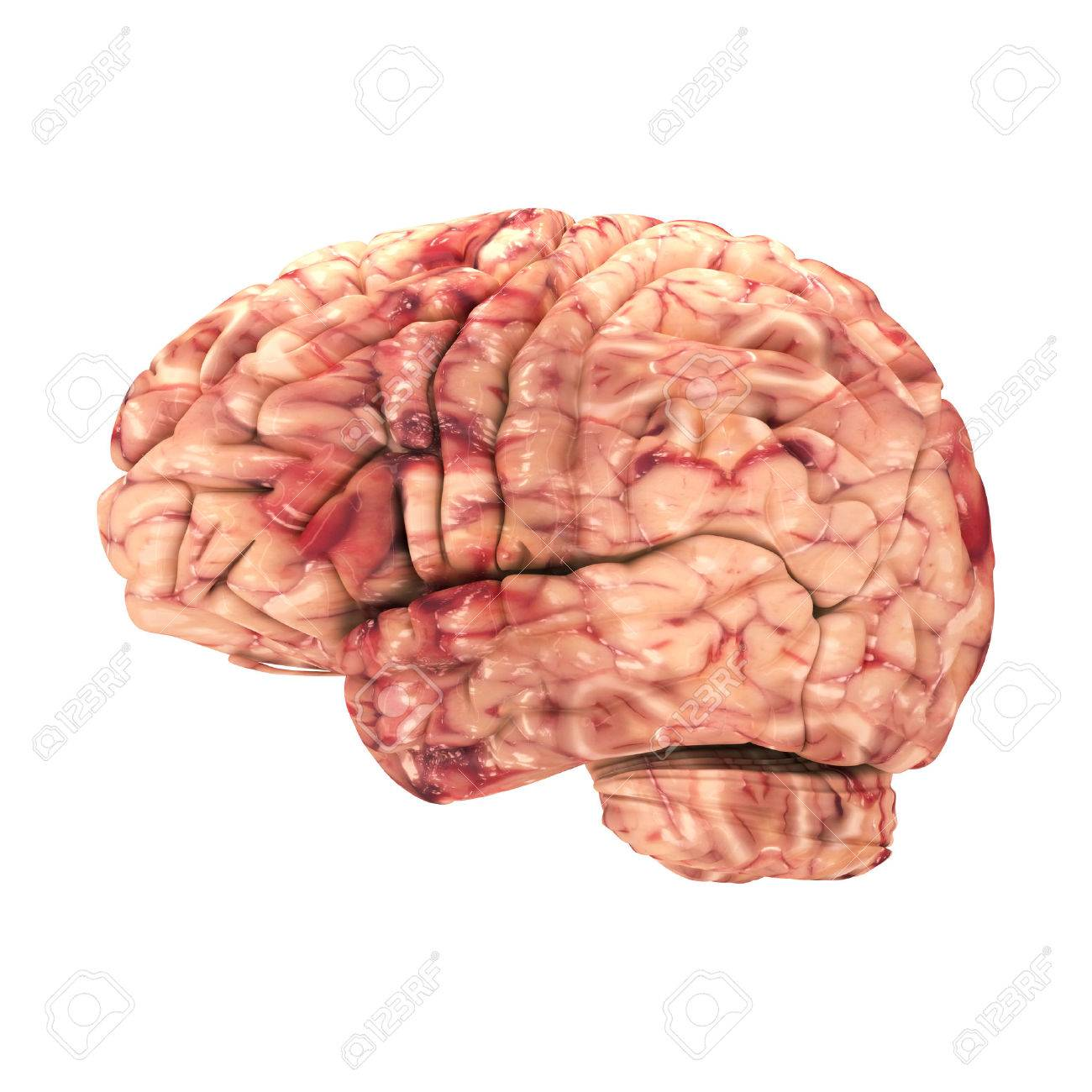 Anatomy Brain - Side View Isolated On White Stock Photo, Picture And ...