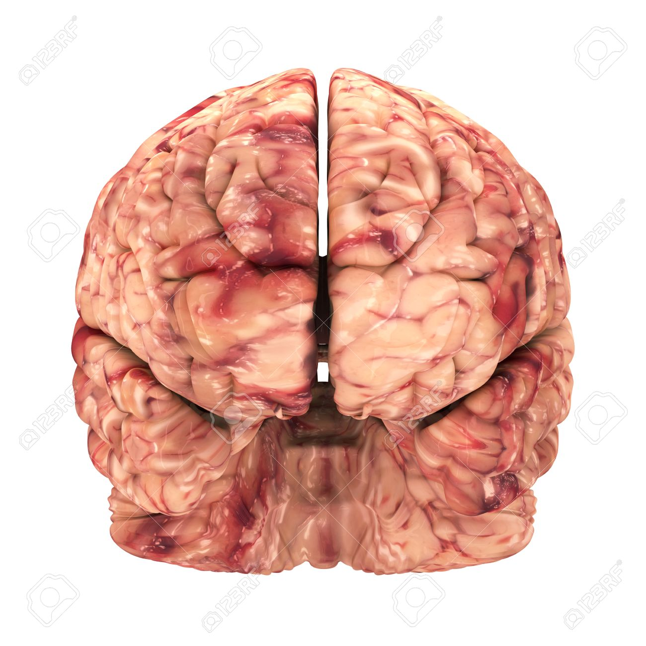 Anatomy Brain Front View Isolated On White Stock Photo Picture