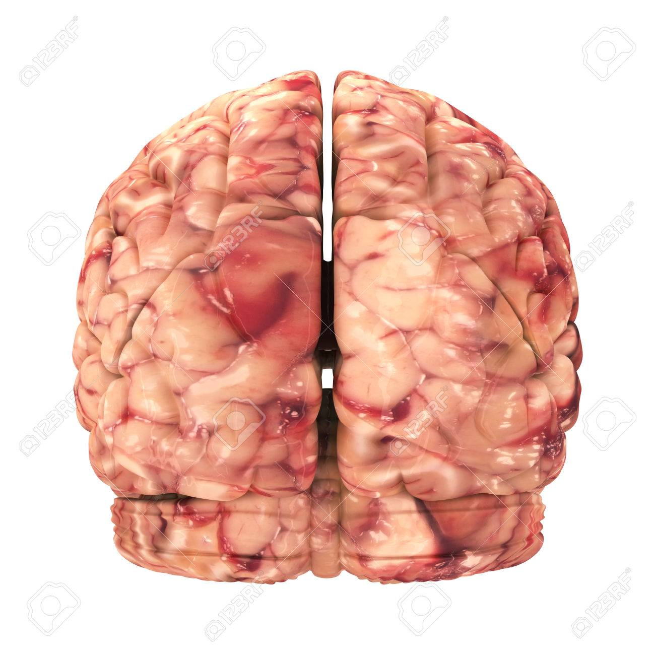 Anatomy Brain - Back View Isolated On White Stock Photo, Picture And ...