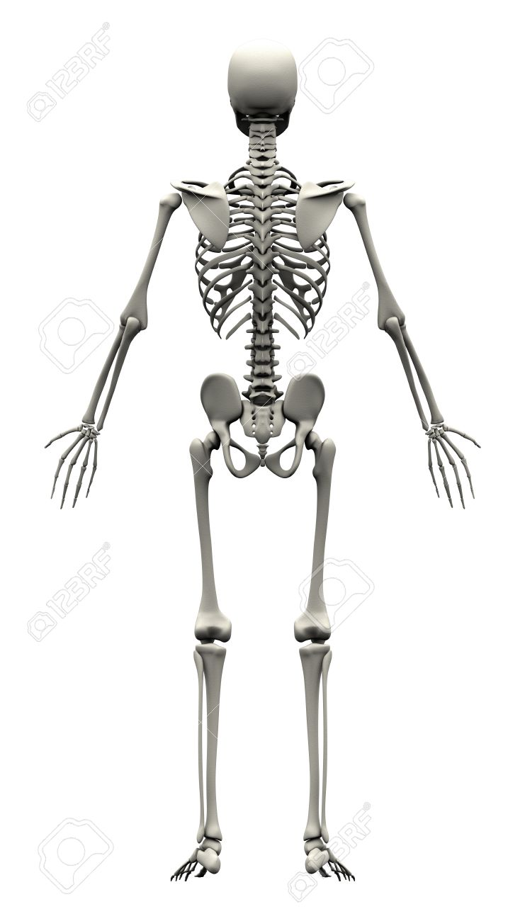 Male Human Skeleton Back View Stock Photo Picture And Royalty