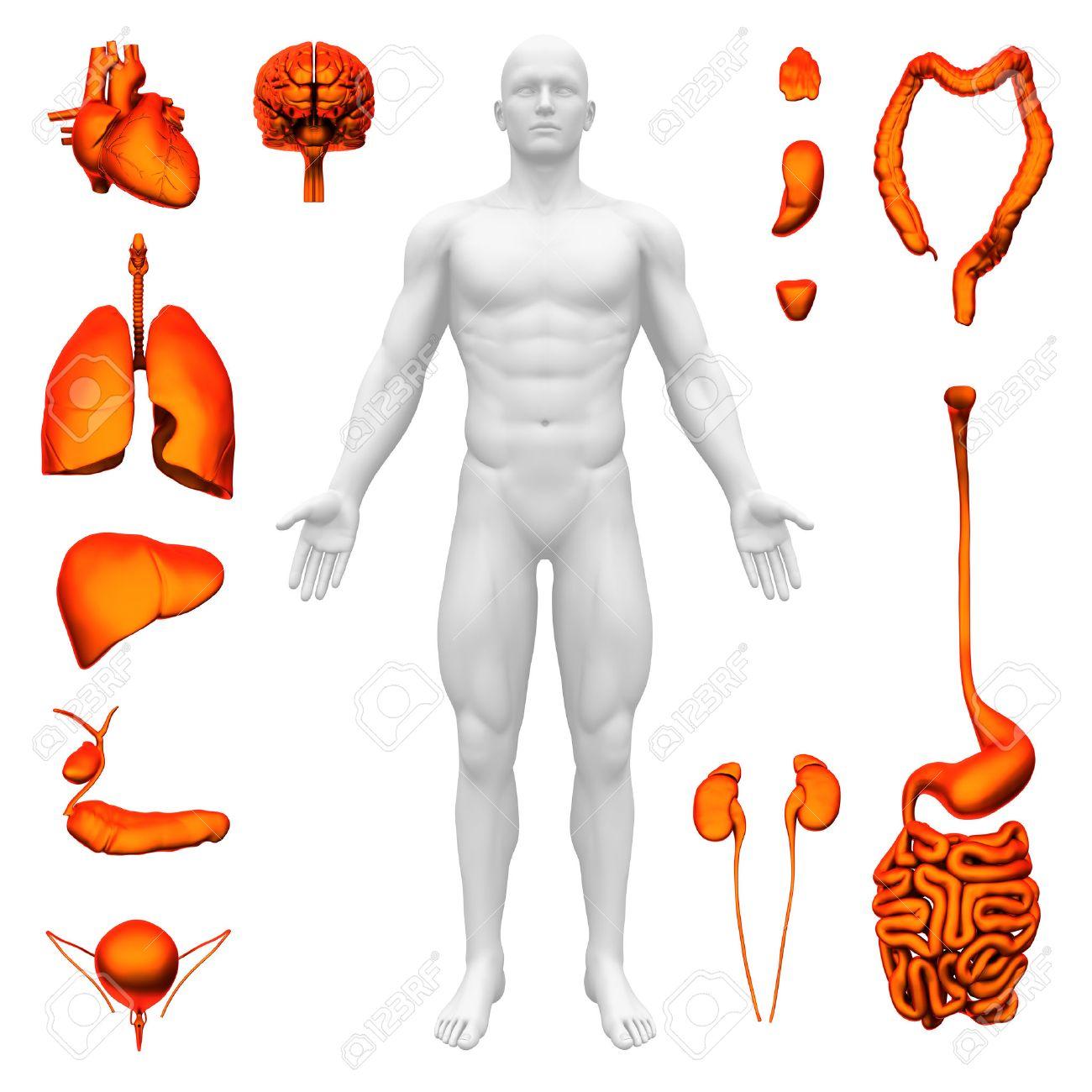 Internal organs - Human anatomy Stock Photo - 22971542