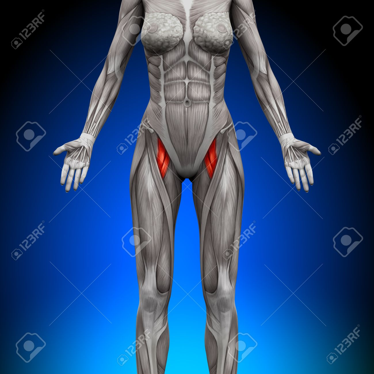 Abs - Female Anatomy Muscles Stock Photo, Picture And Royalty Free ...