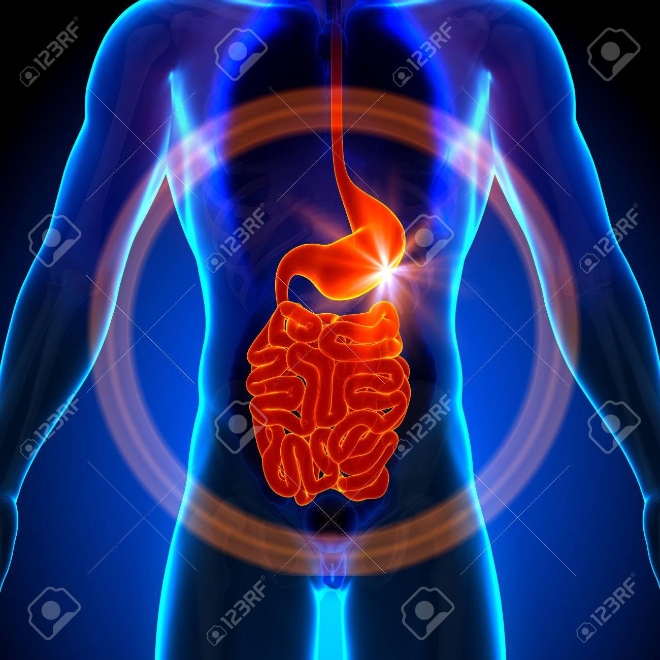 Stomach Guts Small Intestine - Male Anatomy Of Human Organs.. Stock ...