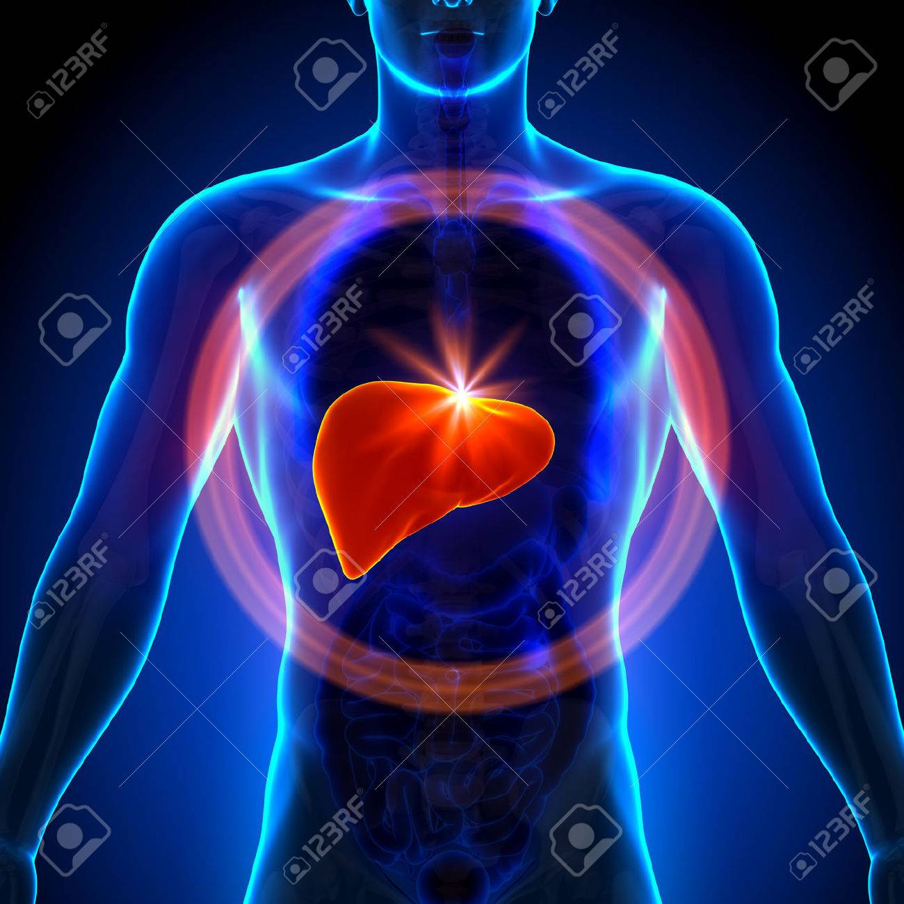 Liver - Male Anatomy Of Human Organs - X-ray View Stock Photo ...