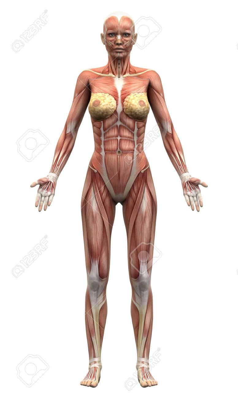 Anatomie Image femme muscles anatomie - vue antérieure banque d'images et photos