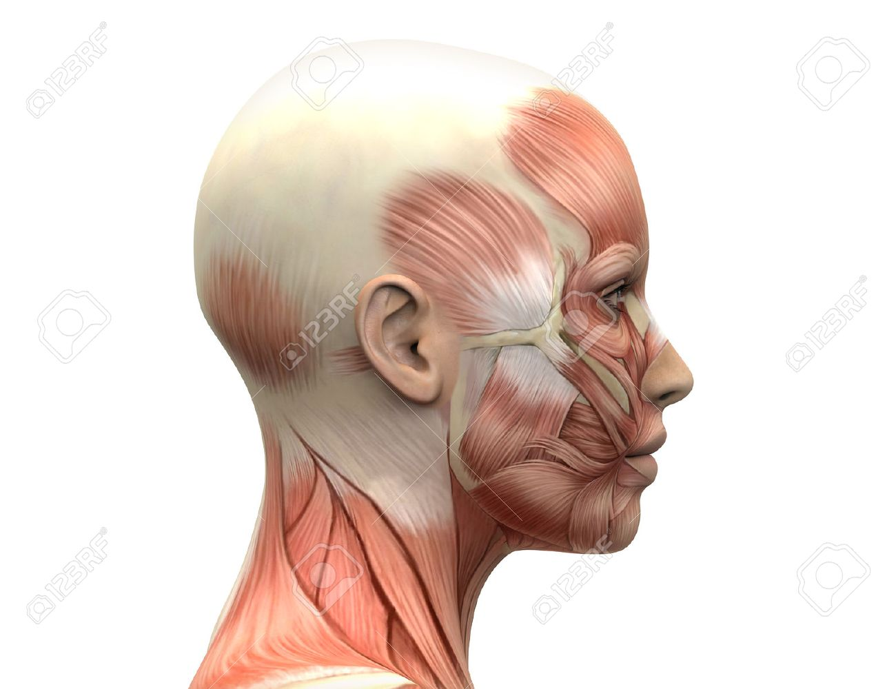 Free Facial Muscle Diagram Female - All Kind Of Wiring Diagrams •