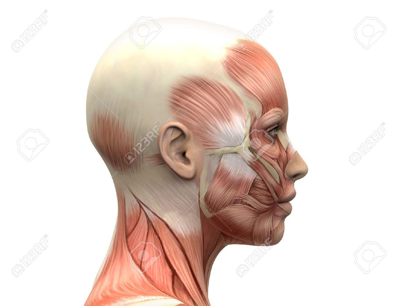 Músculos Femeninas Cabeza Anatomía - Vista Lateral Fotos, Retratos ...