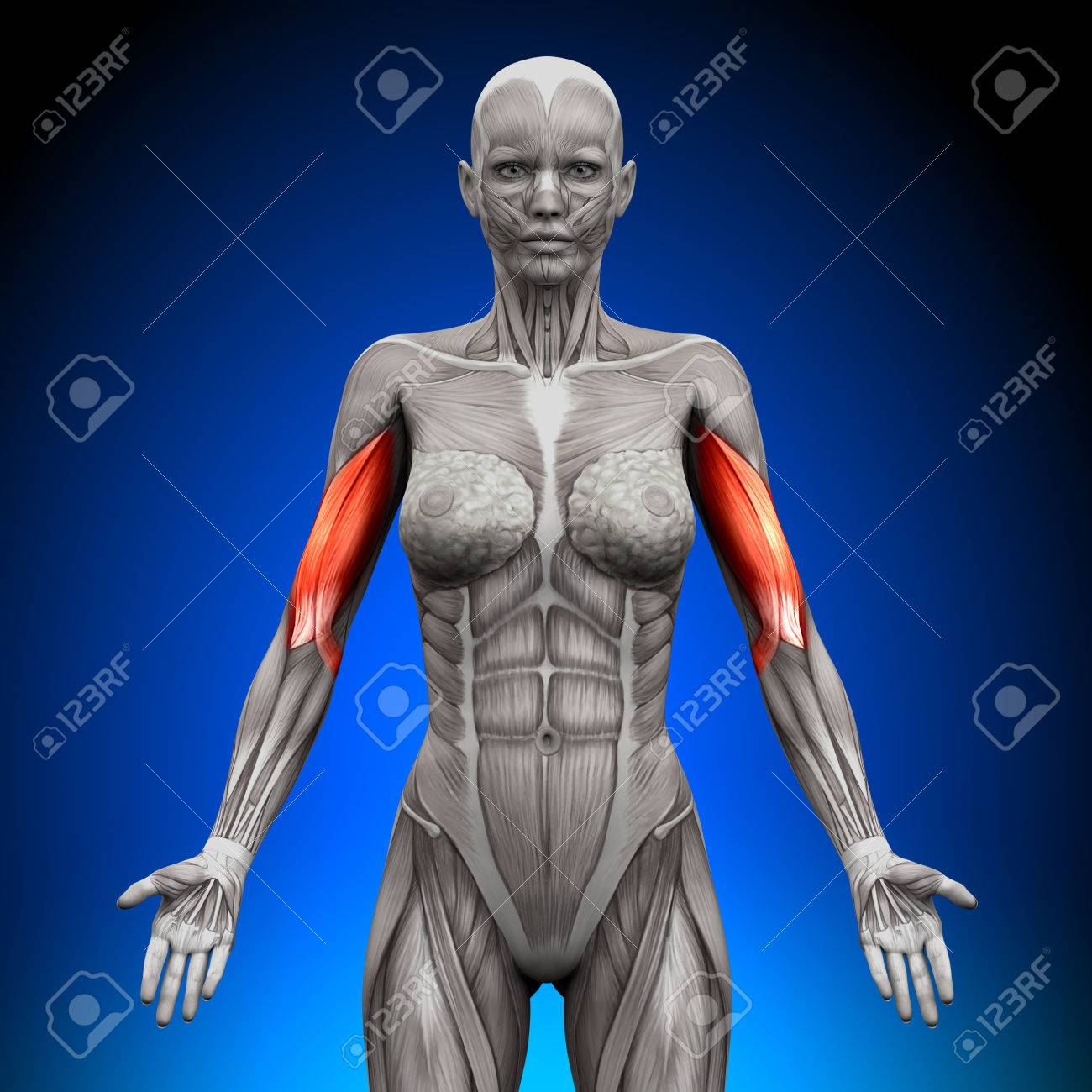 Biceps - Female Anatomy Muscles Stock Photo, Picture And Royalty ...