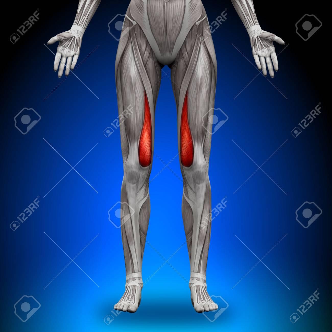 Músculos Anatomía Femenina - Vasto Medial Fotos, Retratos, Imágenes ...