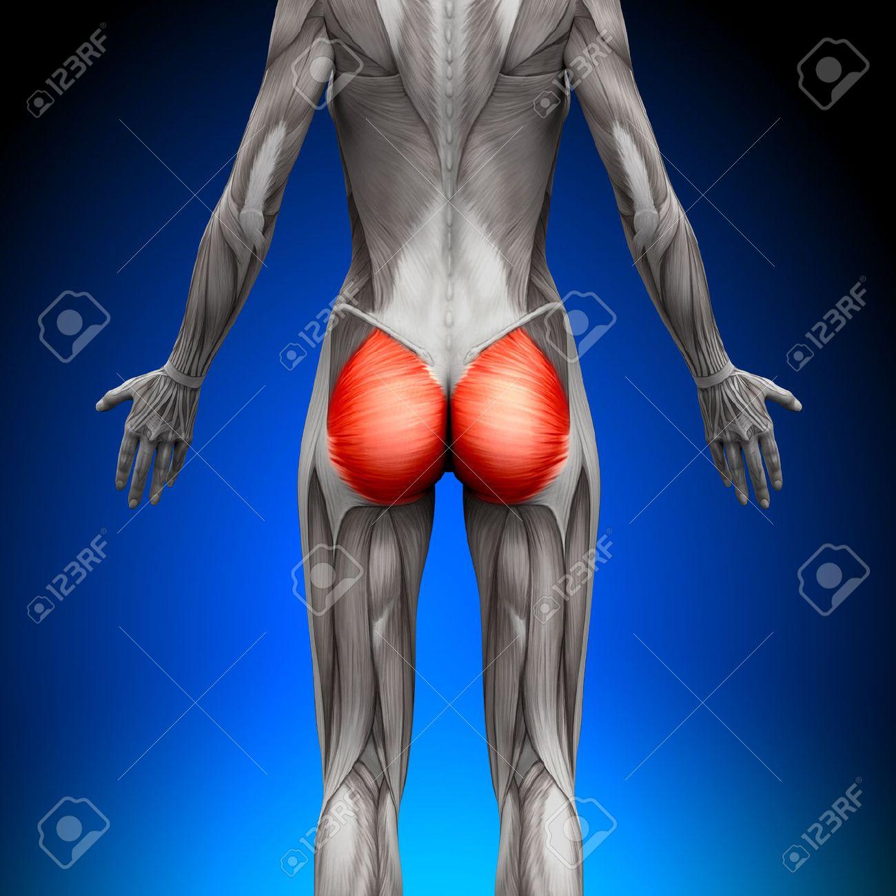 Glutes Großer Gesäßmuskel - Weibliche Anatomie Muscles Lizenzfreie ...