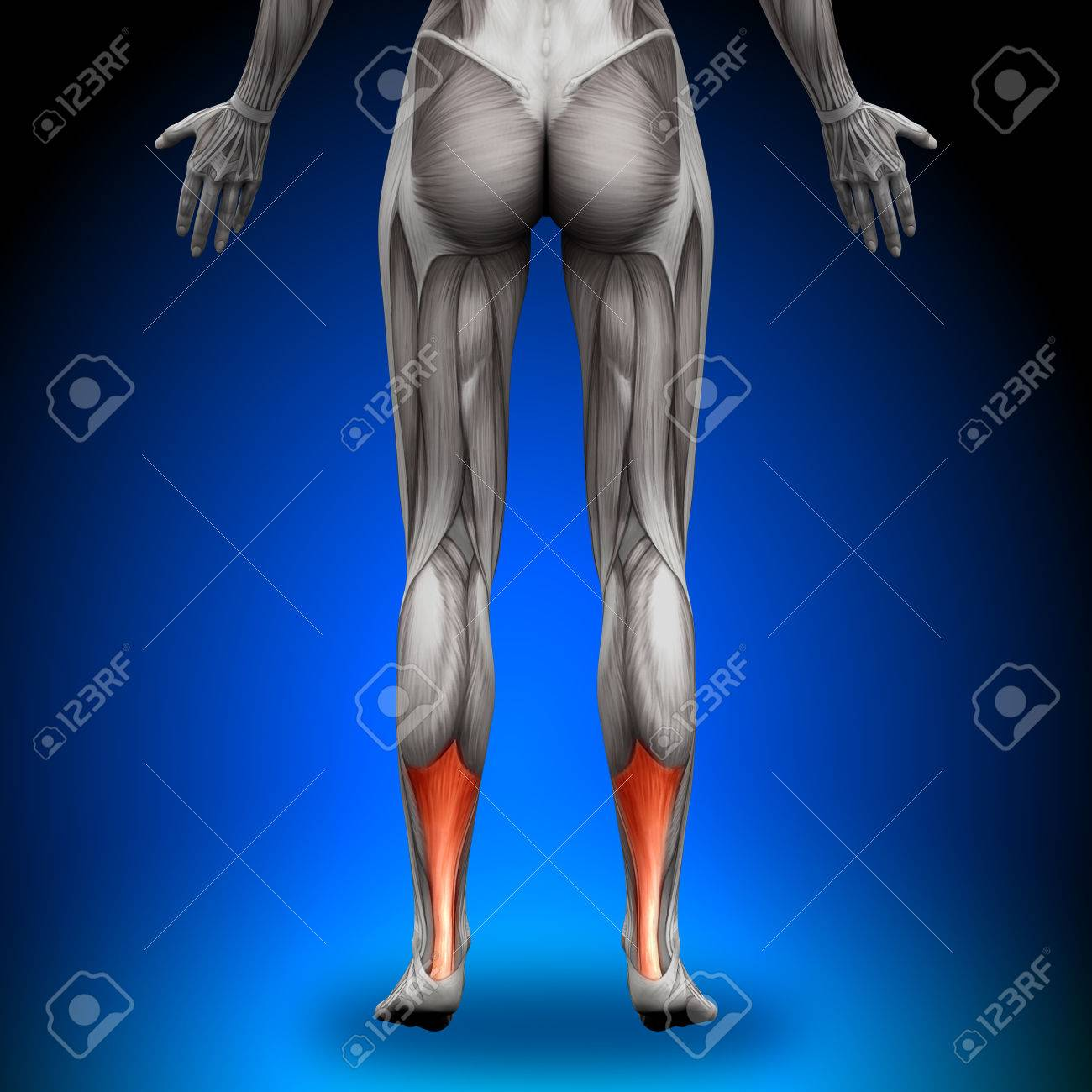Calves Achilles Tendon - Female Anatomy Muscles Stock Photo, Picture ...