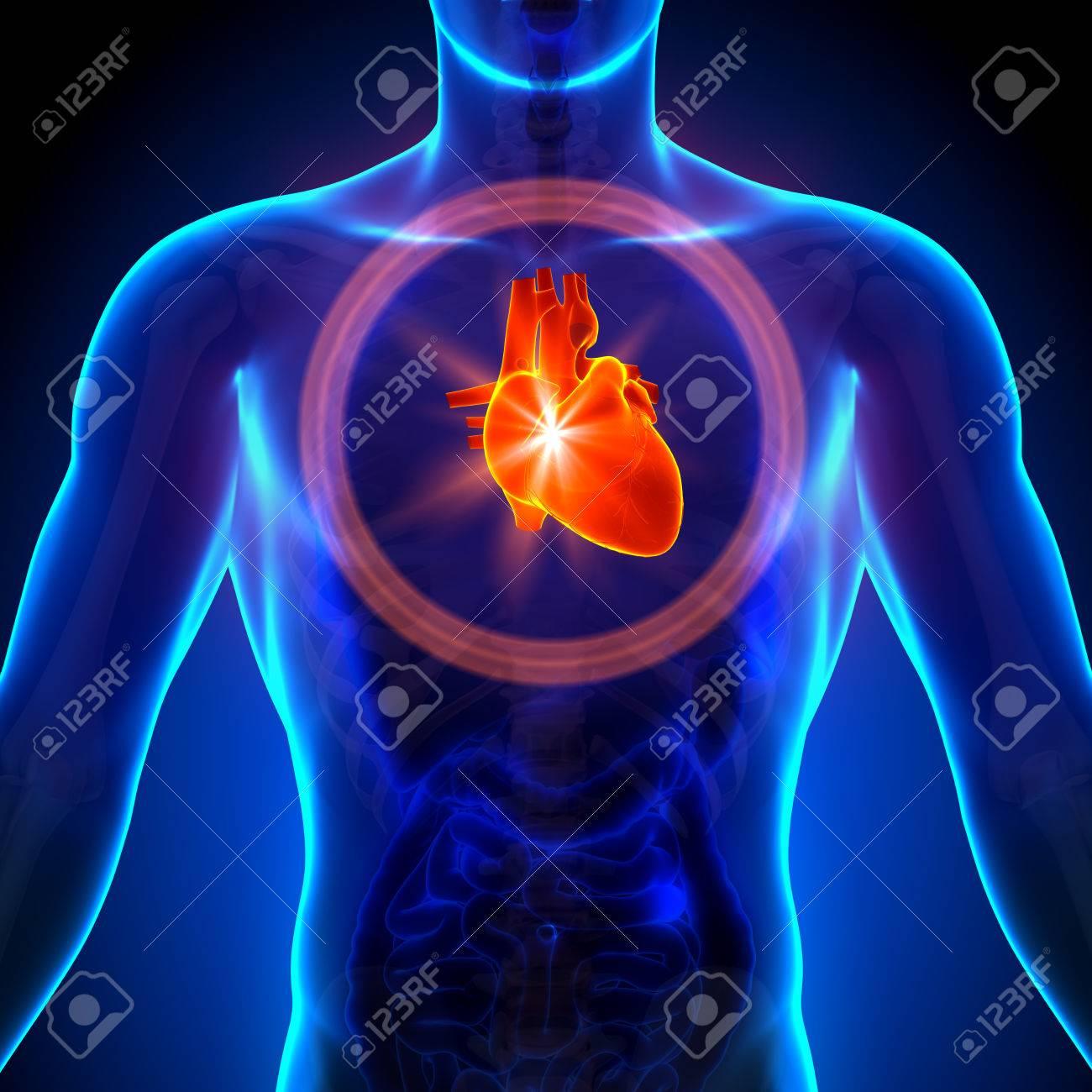 Heart - Männliche Anatomie Des Menschlichen Organen - X-ray-Ansicht ...