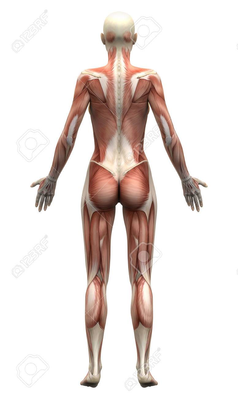 Female Muscles Anatomía - Vista Posterior Fotos, Retratos, Imágenes ...