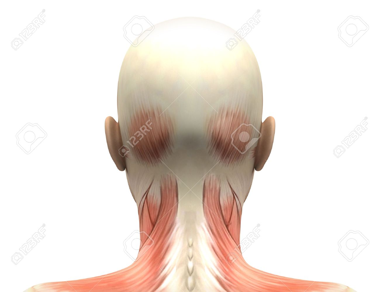 Female Head Muscles Anatomy - Back View Stock Photo, Picture And ...