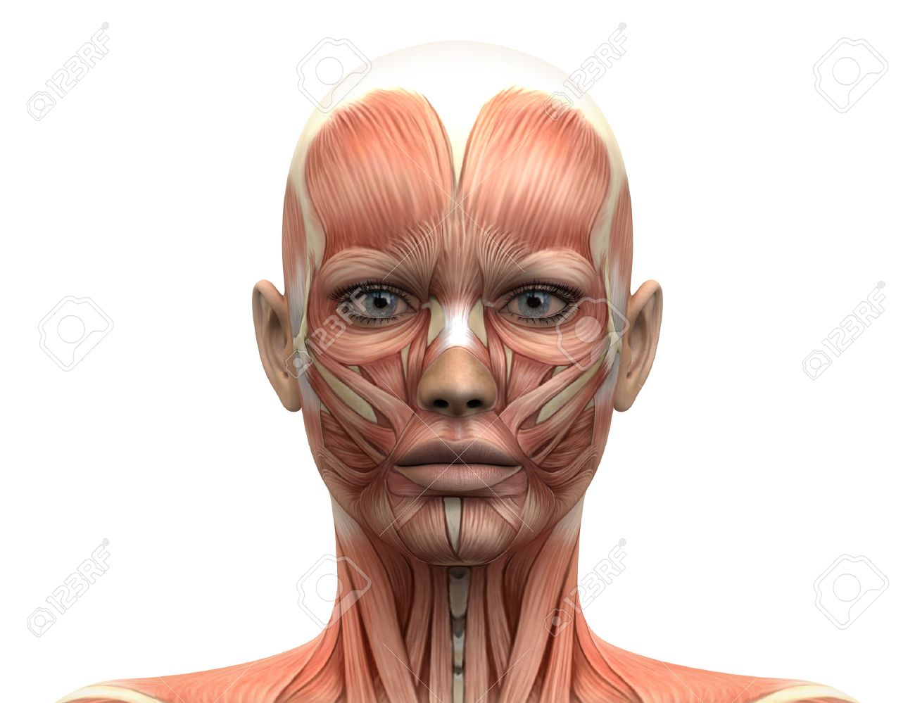Female Head Muscles Anatomy - Front View Stock Photo, Picture And ...