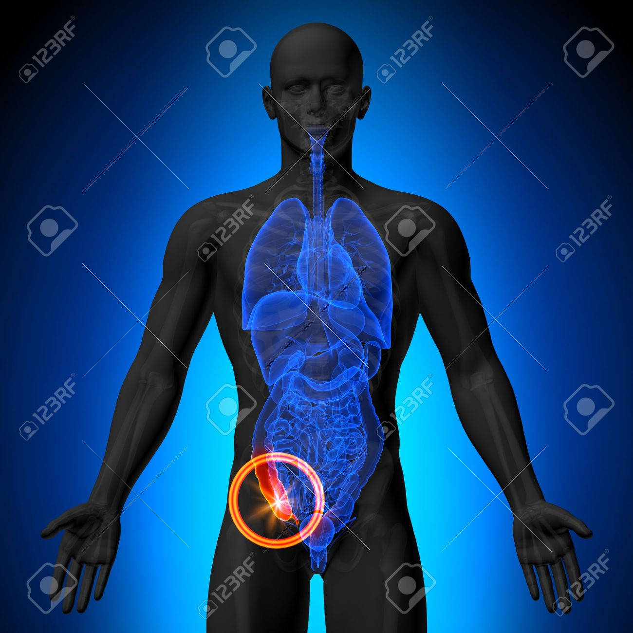 Anhang - Männliche Anatomie Des Menschlichen Organen - X-ray-Ansicht ...