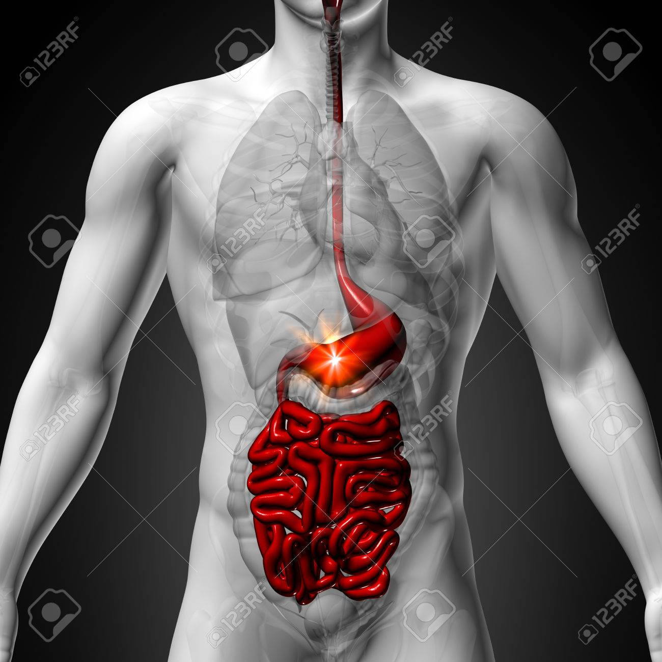 Estómago Guts Pequeño Interstine - Anatomía Masculina De órganos ...