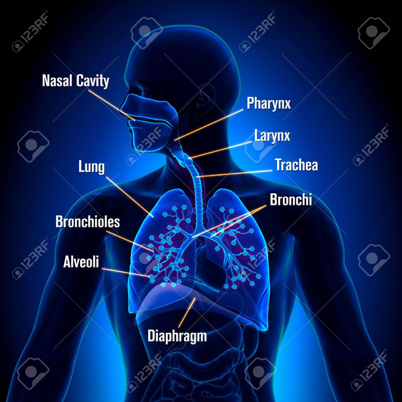 Respiratory System Detailed View Stock Photo Picture And Royalty