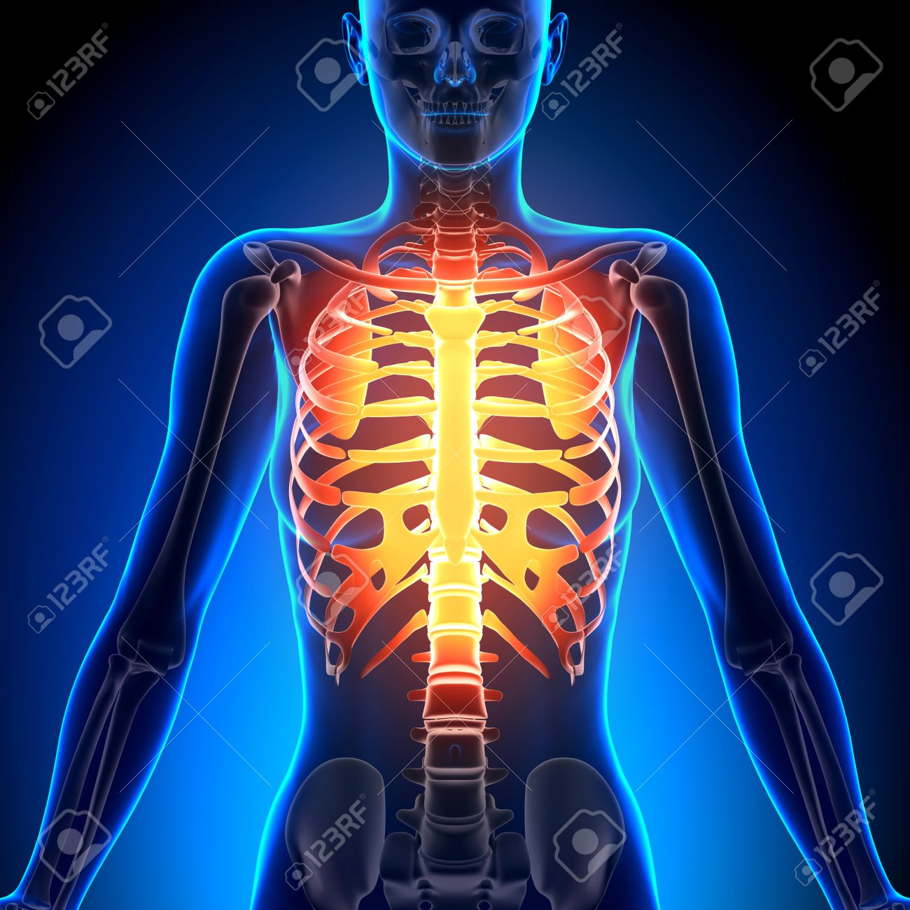 Female Rib Cage - Anatomy Bones Stock Photo, Picture And Royalty ...