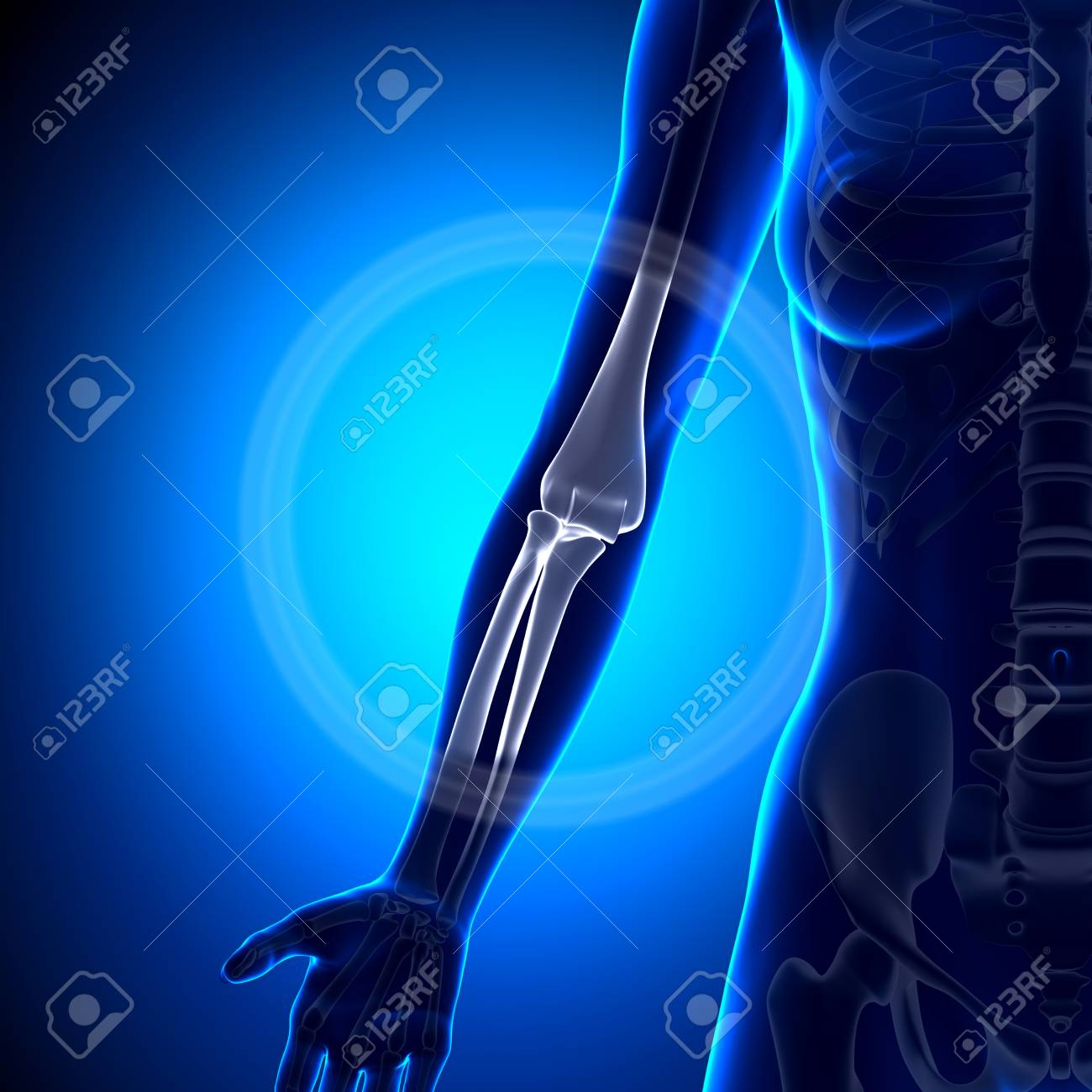 Female Elbow Bone Anatomy Stock Photo Picture And Royalty Free