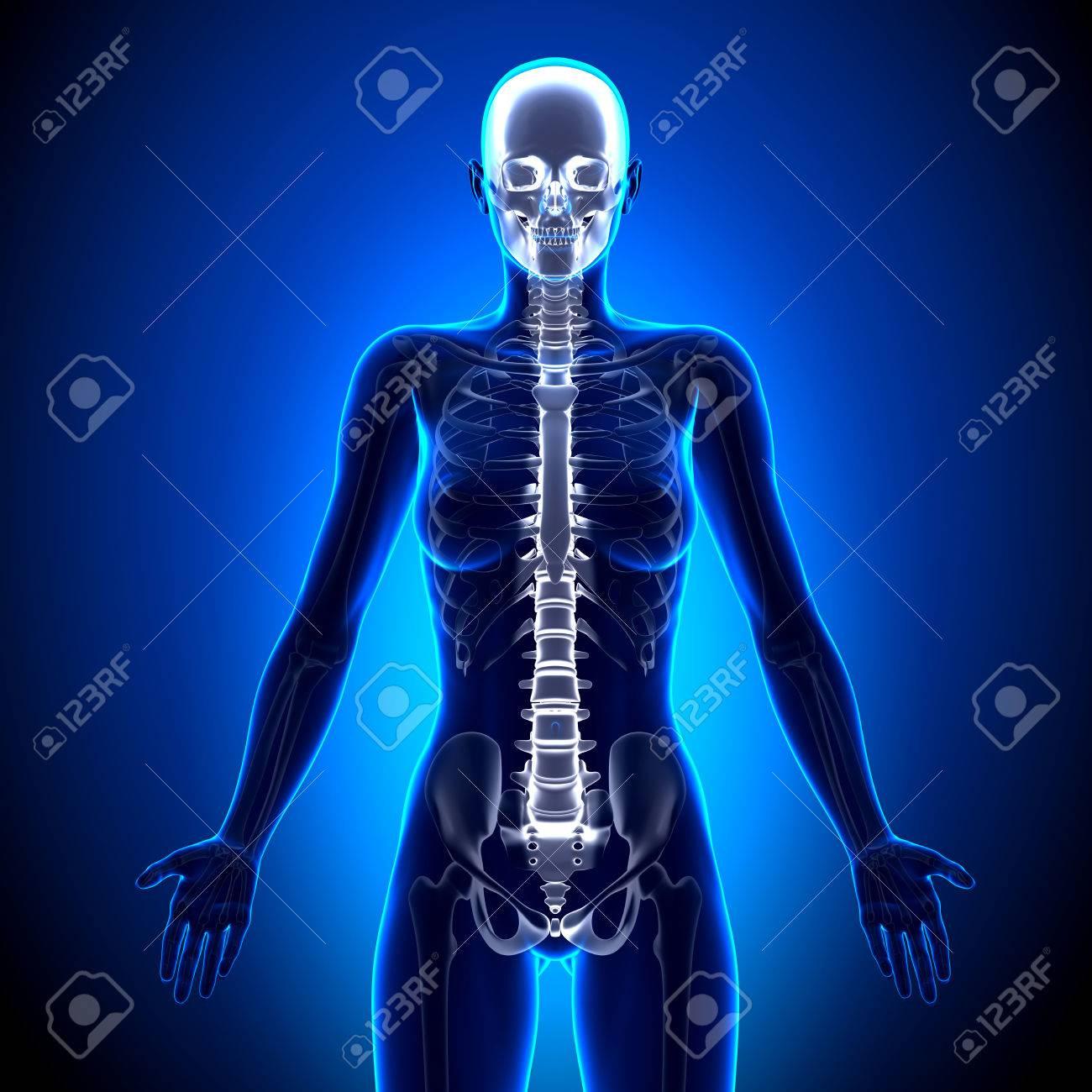 Mujer Spine - Anatomía Huesos Fotos, Retratos, Imágenes Y Fotografía ...