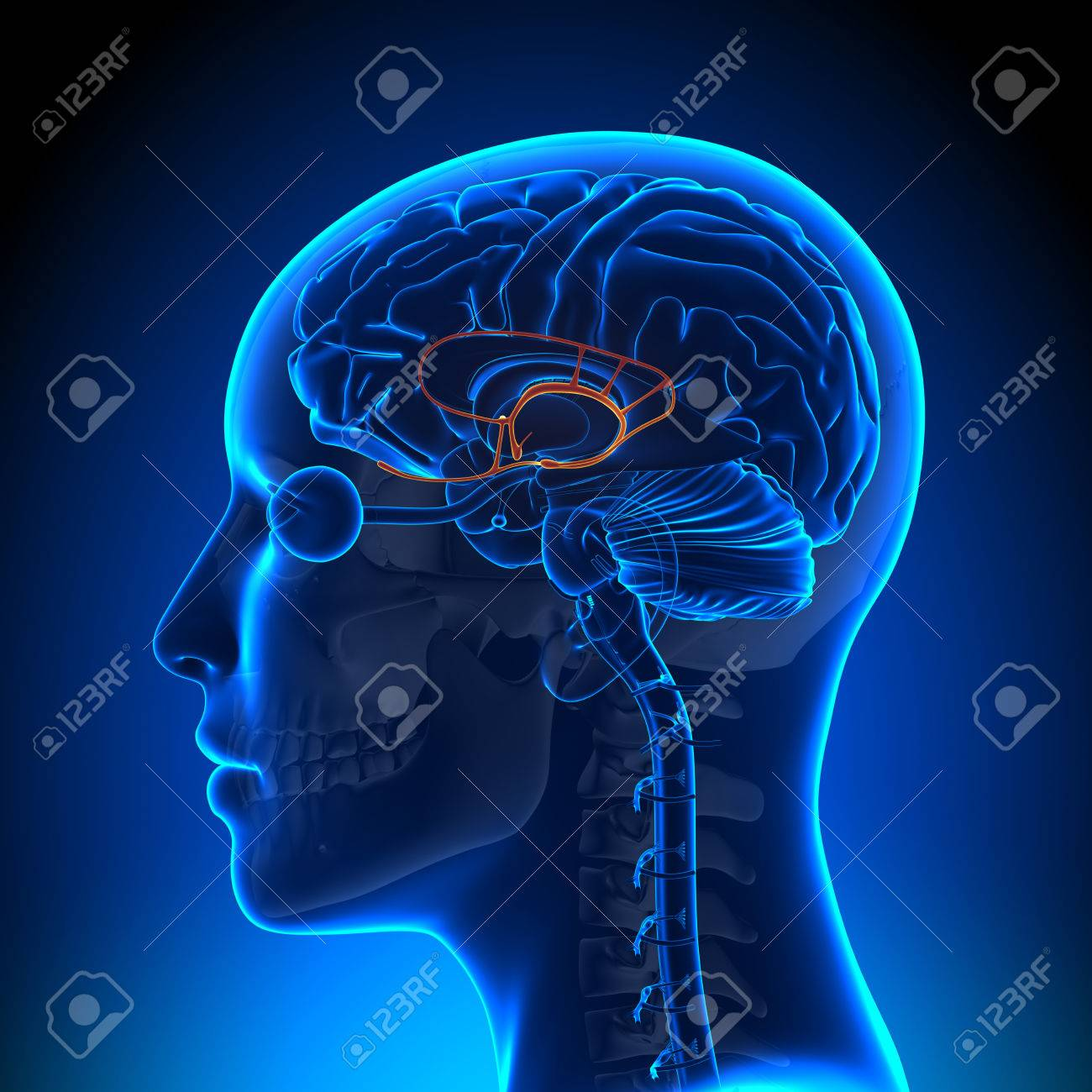 Female Limbic System - Anatomy Brain Stock Photo, Picture And ...