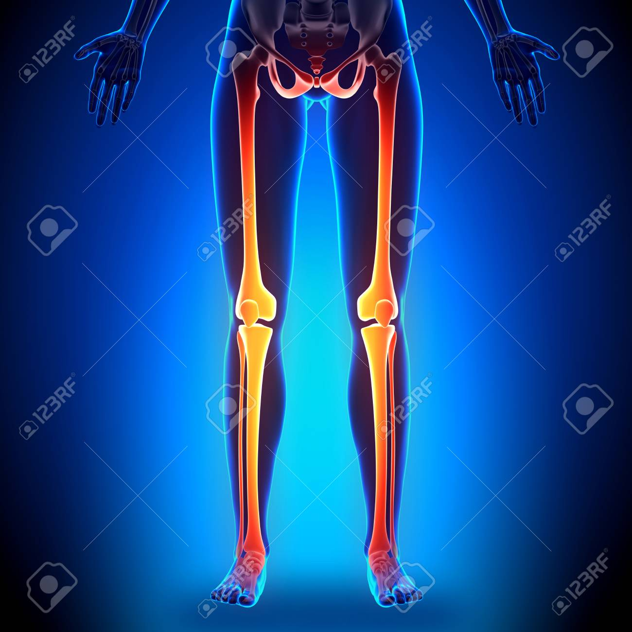 Female Legs - Anatomy Bones Stock Photo, Picture And Royalty Free ...