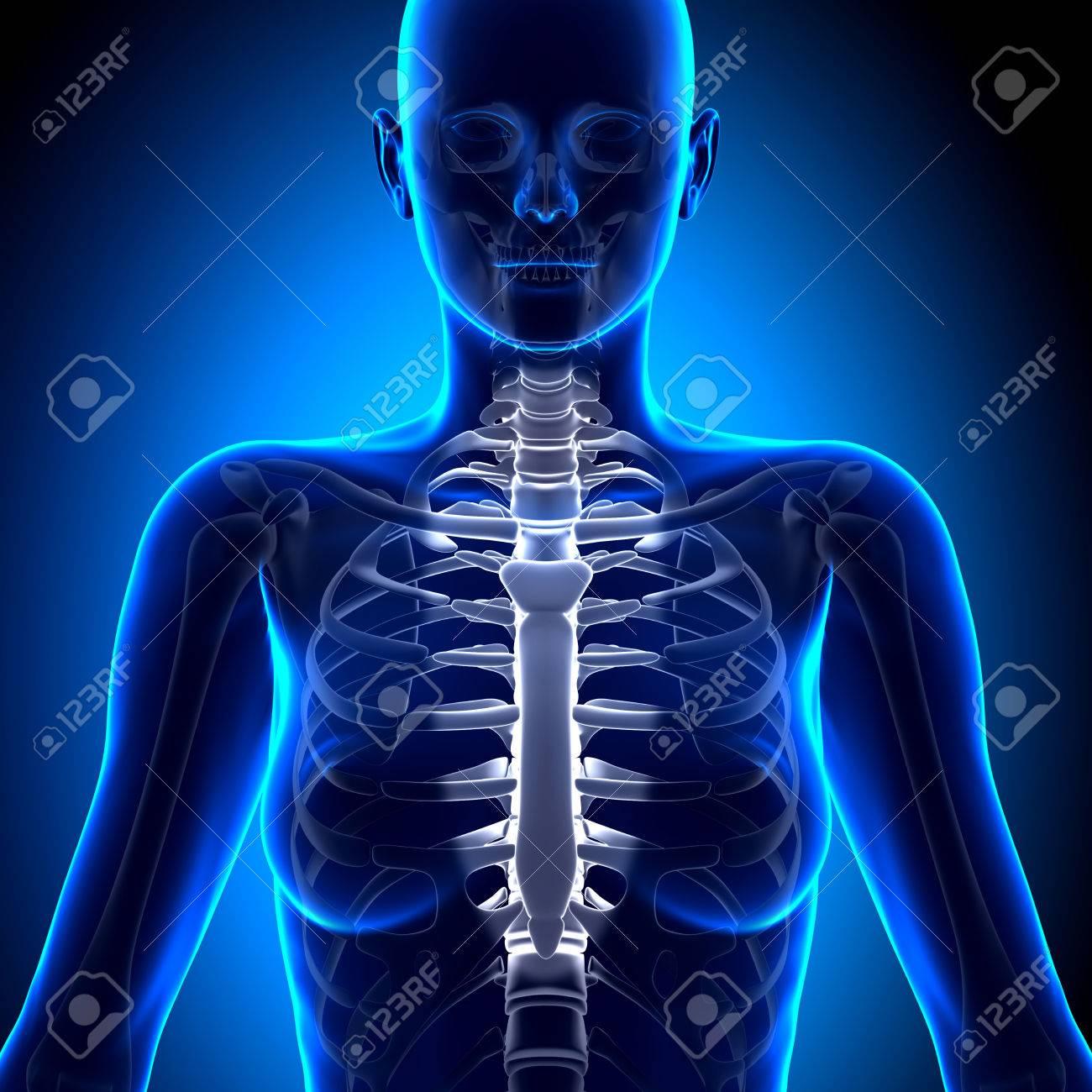 Mujer Esternón - Anatomía Huesos Fotos, Retratos, Imágenes Y ...