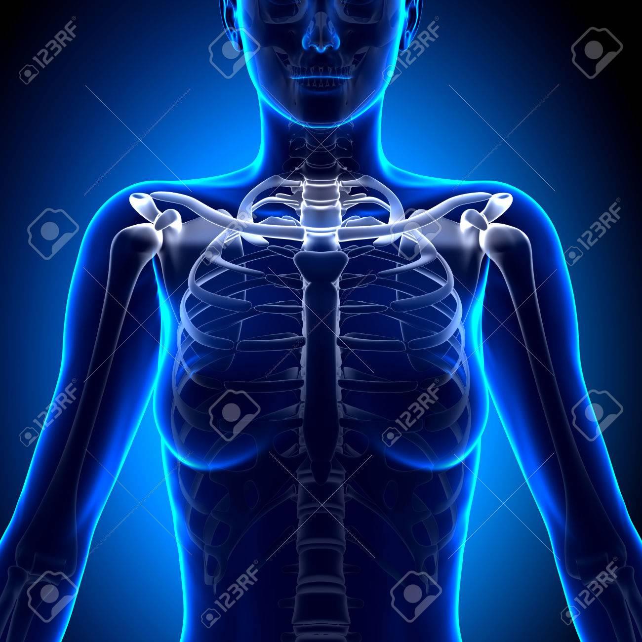 Female Clavicle Bone Anatomy - Anatomy Bones Stock Photo, Picture ...