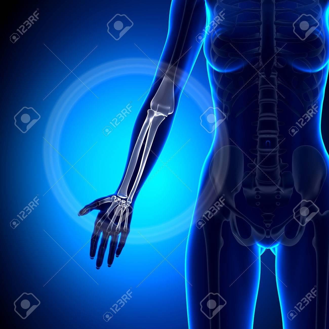 Female Radius Ulna Forearm Anatomy Bones Stock Photo Picture