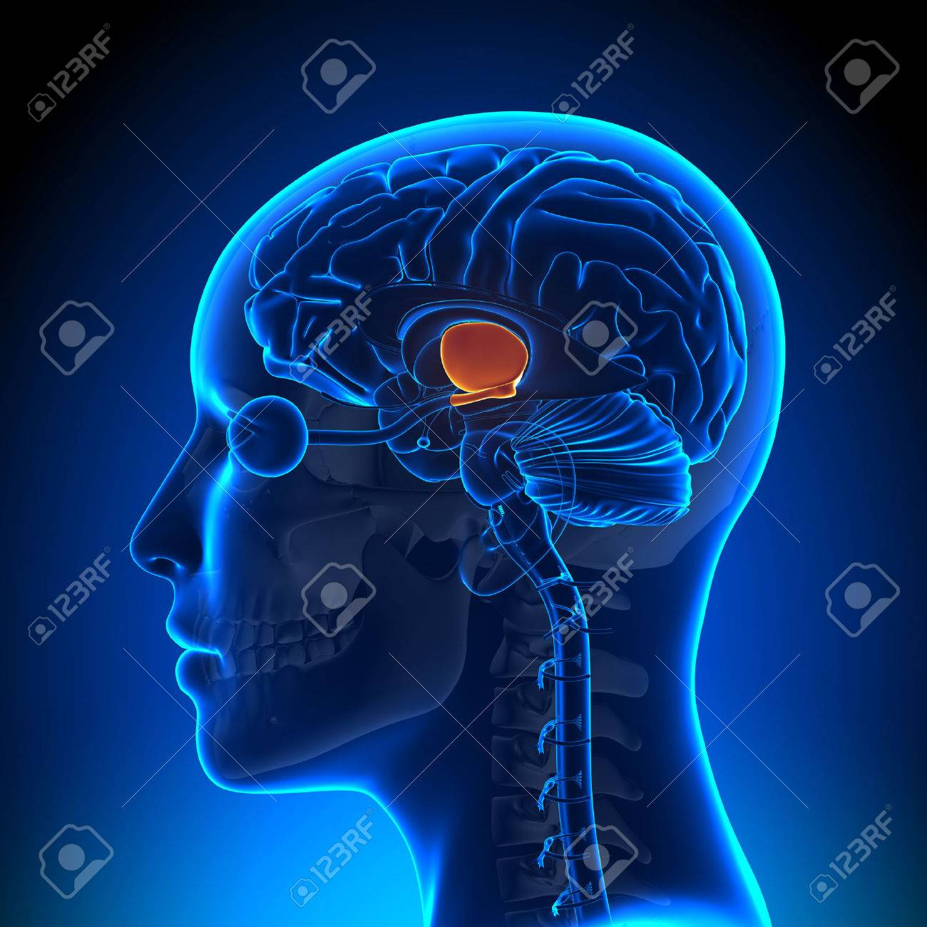 Hypothalamus - Female Brain Anatomy Stock Photo, Picture And Royalty ...