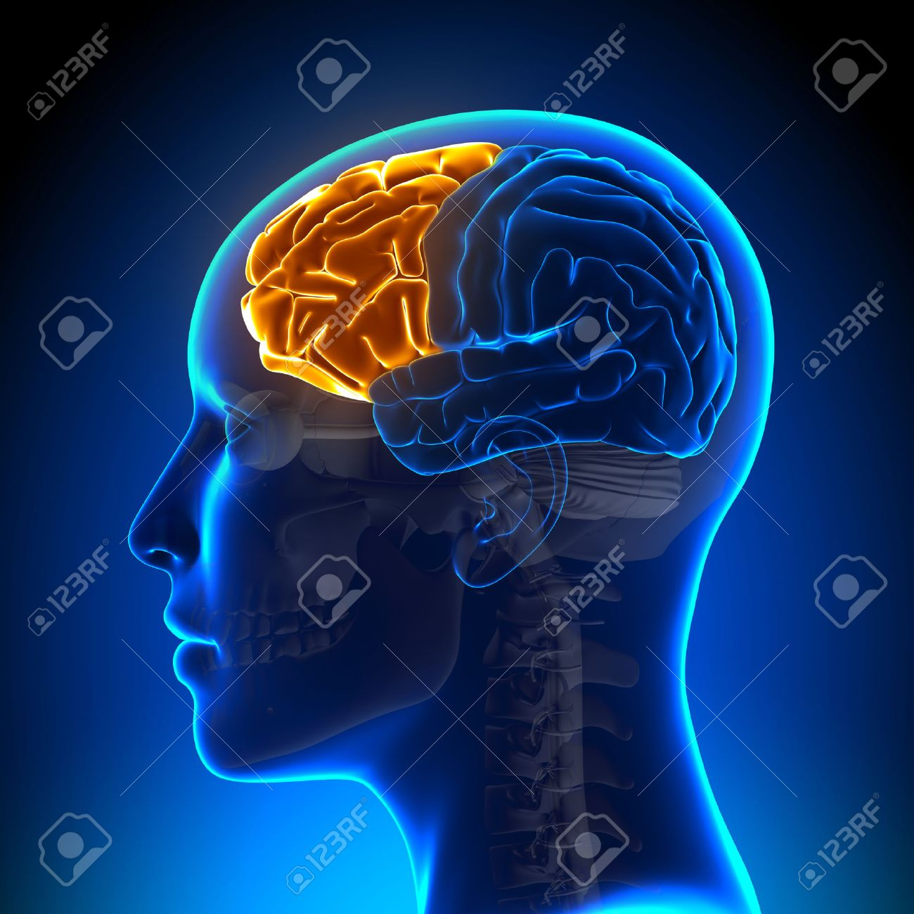 Female Frontal Lobe - Anatomy Brain Stock Photo, Picture And Royalty ...