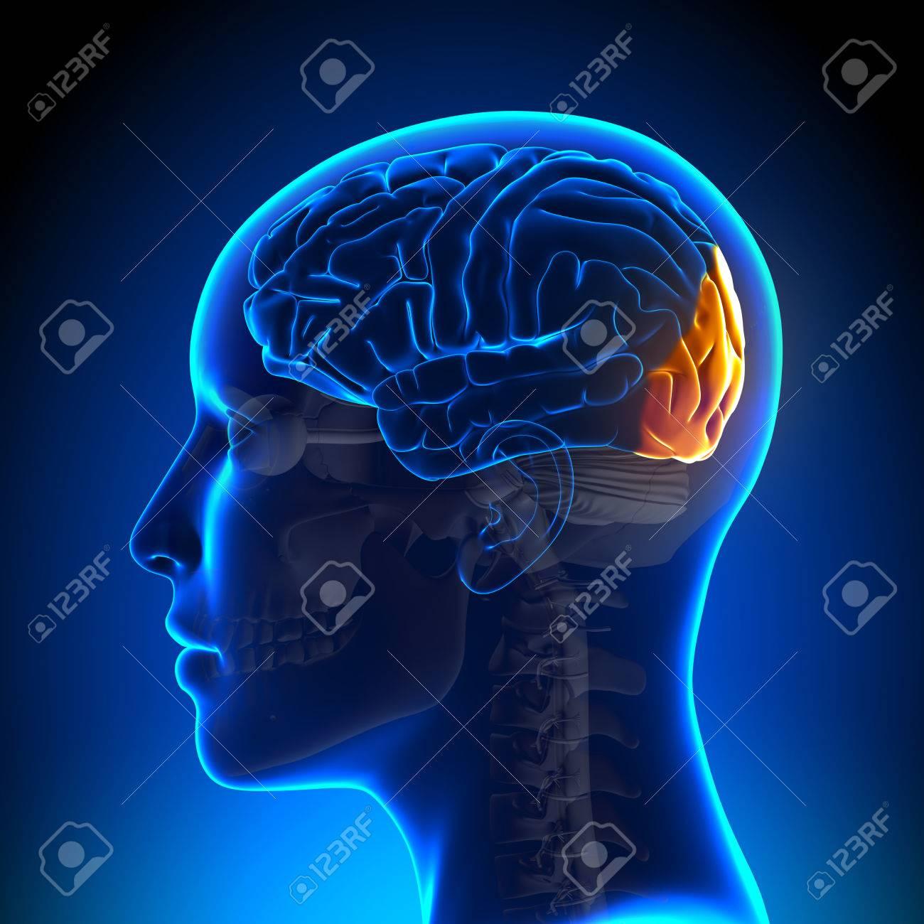 Female Occipital Lobe - Anatomy Brain Stock Photo, Picture And ...
