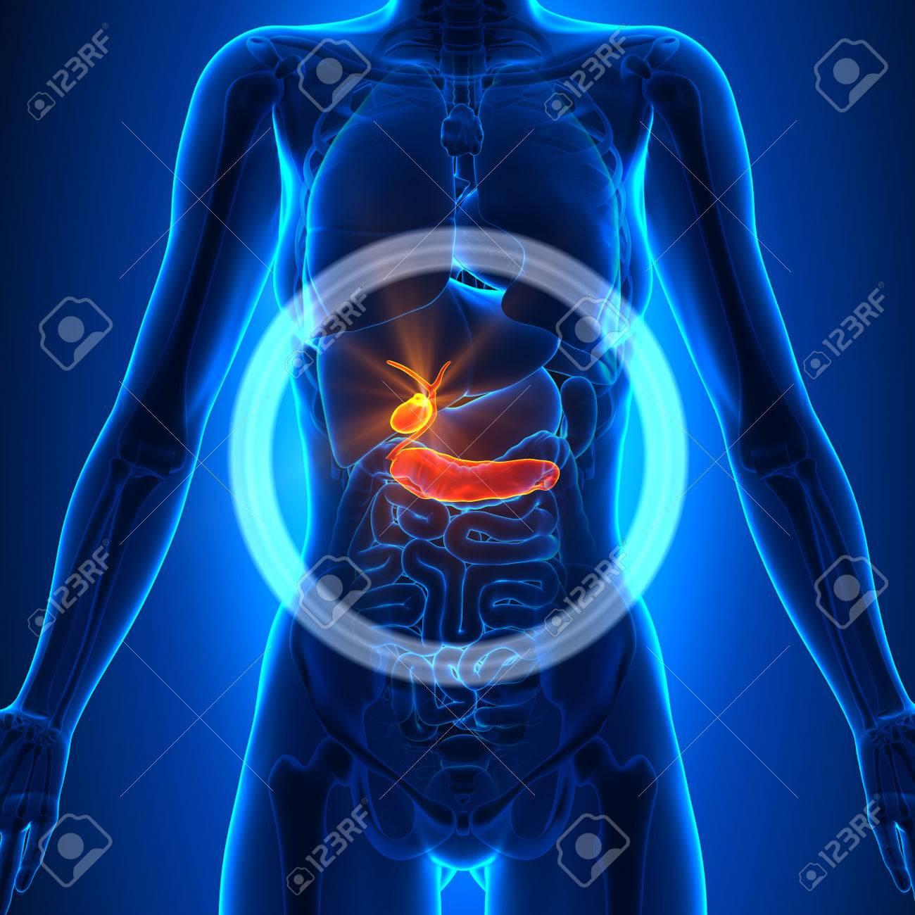 Gallbladder / Pancreas - Female Organs - 33946551