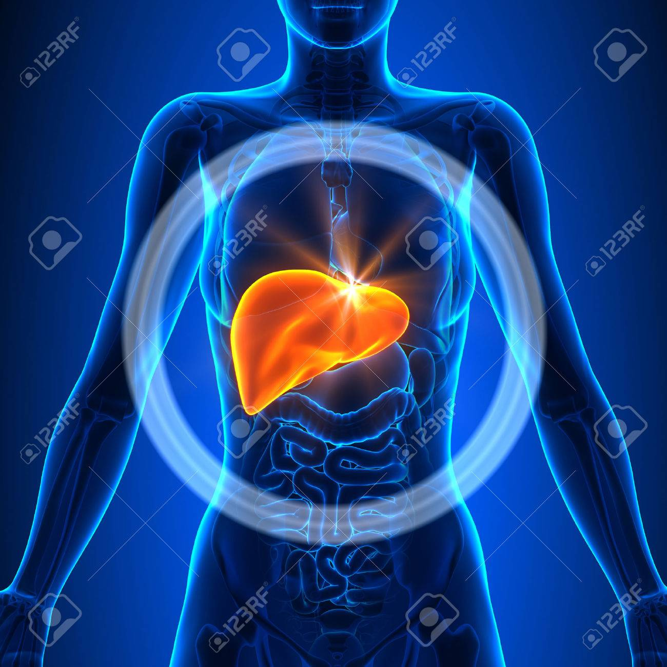 Liver Female Organs Stock Photo Picture And Royalty Free Image