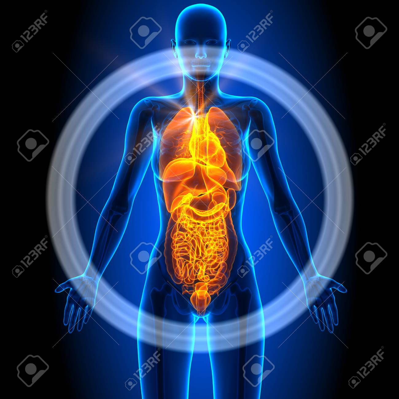 Female Organs Human Anatomy Stock Photo Picture And Royalty Free