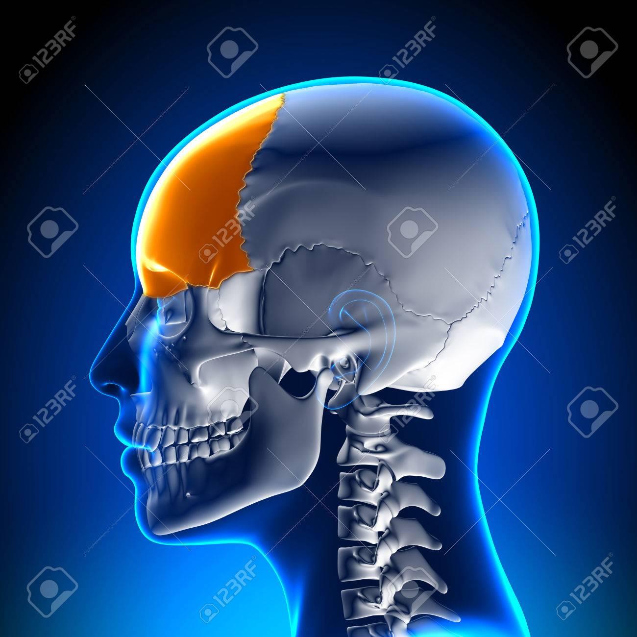 Weiblich Stirnbein - Schädel / Cranium Anatomie Lizenzfreie Fotos ...