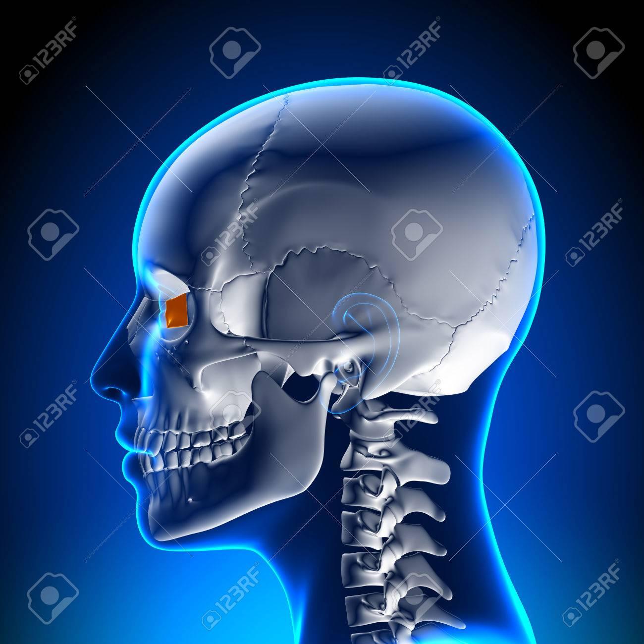 Weiblich Tränenbein - Schädel / Cranium Anatomie Lizenzfreie Fotos ...