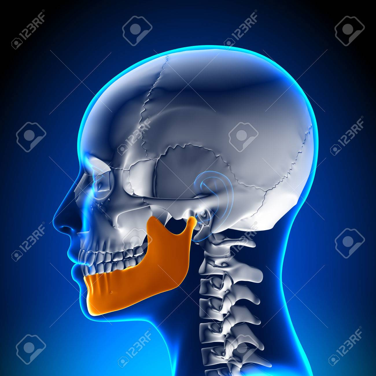 Female Mandible - Jaw Anatomy Stock Photo, Picture And Royalty Free ...