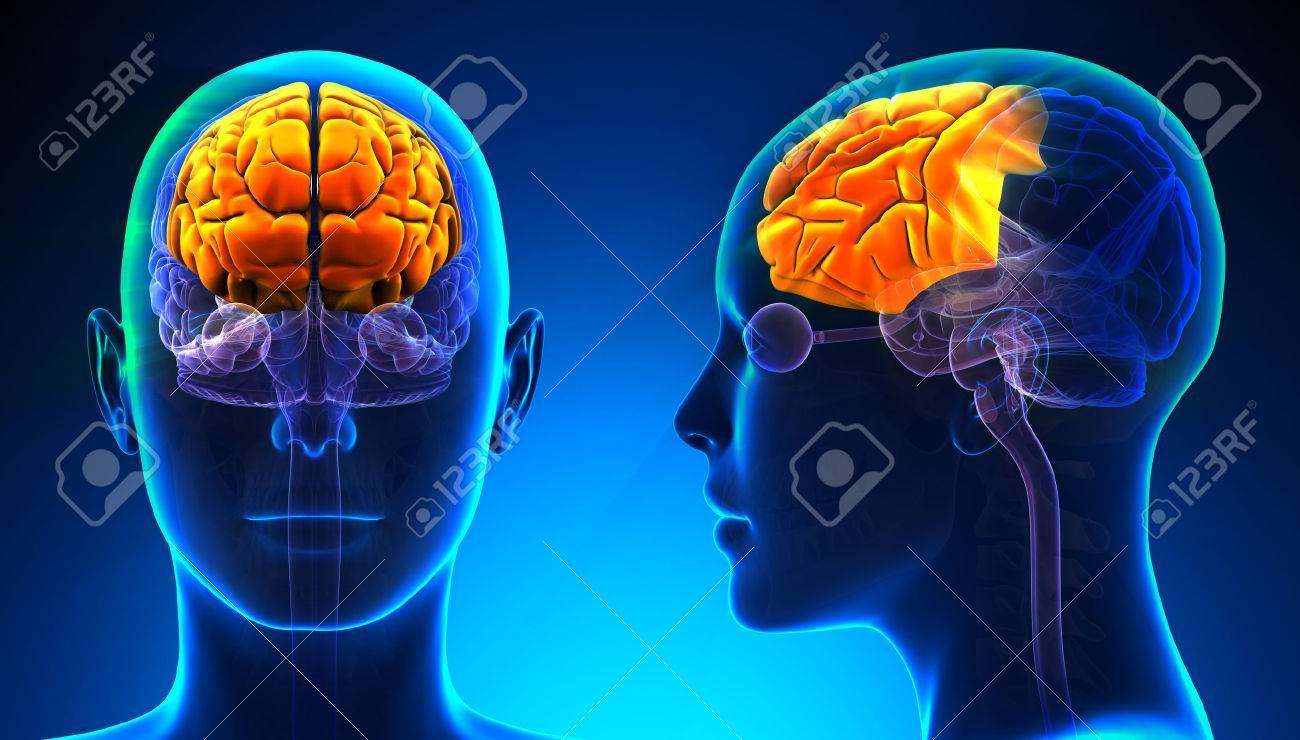 Female Frontal Lobe Brain Anatomy - Blue Concept Stock Photo ...